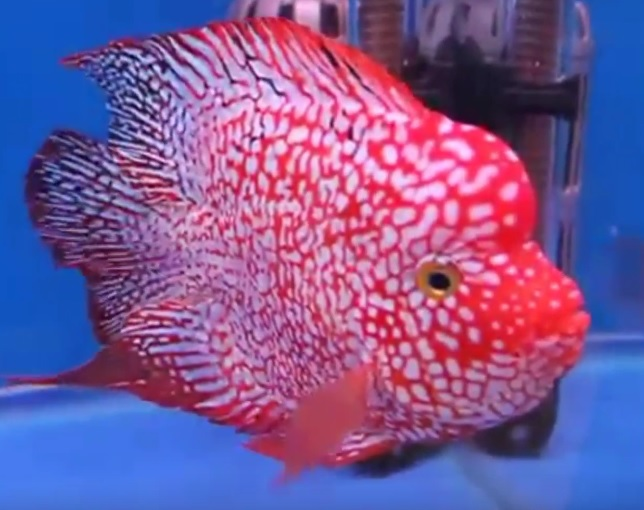 Gambar Ikan Louhan Super Red Texas